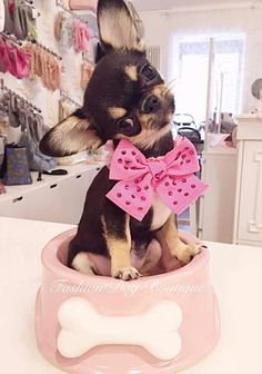 Effective Potty Training Chihuahua Consistency Is Key Ideas. Brilliant Potty Training Chihuahua Consistency Is Key Ideas. Cute Puppies, Cute Dogs, Dogs And Puppies, Doggies, Little Dogs, Cute Baby Animals, Funny Animals, Chihuahua Love, Teacup Chihuahua Puppies