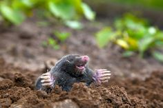 Moles don't like the taste of castor oil, and they don't like it on their fur. (if this is true, I'm going to drown the bugger eating my vegetables)