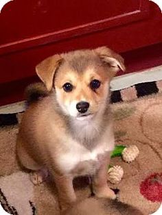 Denver, CO - Australian Shepherd/Terrier (Unknown Type, Small) Mix. Meet Chai, a puppy for adoption. http://www.adoptapet.com/pet/15265664-denver-colorado-australian-shepherd-mix