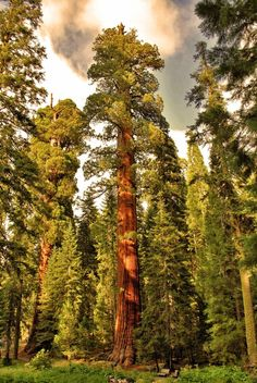 Majestic and magnificent sequoias in the Sequoia National Park.