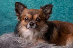 Čivava, nejmenší pes na světě