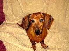 Dixie Dachshund Rescue- AL