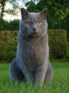 Chartreux - The Chartreux dates back to 16th-century France. Its thick, velvety coat is any shade of blue-gray, from ash to slate, with the tips lightly brushed with silver. The Chartreux's copper or gold eyes hint at its relation to the Russian Blue, whose eyes are a deep emerald green.
