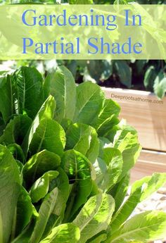 Gardening in partial shade doesn't mean you're destined to go through the summer minus fresh garden vegetables. By making the most of what you have, you can harvest lettuces, peas, and other tasty veggies from spring through fall. Gardening In Partial Shade | Deep Roots at Home