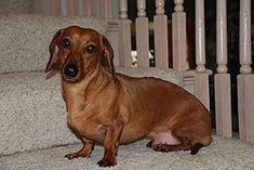 Dachshunds are cute little suckers but they are also very stubborn. They're actually pretty easy to potty train, it just takes time and patience. #teachdogtricks #teachdogtocome