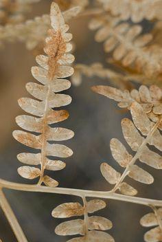 Bracken Fern Leaves by Jessica Rosenkrantz