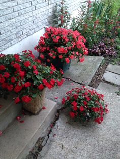 Red impatiens at mom's house