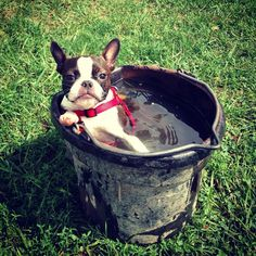 Boston Terrier cooling down. Dogcuzzi.