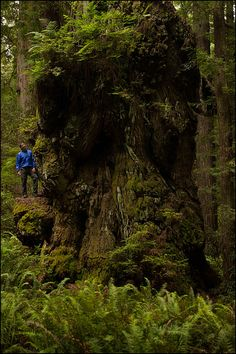 Visitor from South Africa next to a giant Coast Redwood. Guided in Prairie Creek Redwoods State Park by M. D. Vaden. An undisclosed location called Valley of the Lost Groves