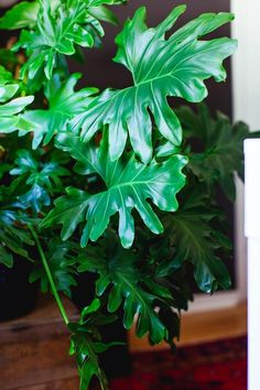 Tips & tricks for caring for popular indoor plants. Tips & tricks for caring for popular indoor plants: from monstera deliciosa& and philodendrons, to succulents, jades, pothos + ZZ plants. House Plants Decor, Plant Decor, Garden Plants, Indoor Plants Low Light, Best Indoor Plants, Philadendron Plant, Indoor Plant Shelves, Popular House Plants, Gardening