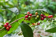 GROW COFFEE PLANTS FROM UNROASTED COFFEE BEANS COFFEE : More at FOSTERGINGER @ Pinterest
