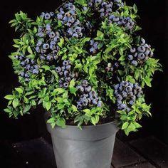 blueberry bush - Google Search