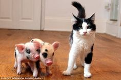 that cat is just jealous its not as cute as those pigs! Someday I will have a teacup pig!