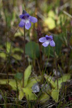 Common Butterwort - Pinguicula vulgaris