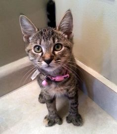 Hello, Do You Think I'm Cute? - For more loveable pictures of cats and kittens, visit our Bad Cats, Silly Cats, Funny Cat Memes, Funny Cats, Crazy Cat Lady, Crazy Cats, I Love Cats, Cute Cats, Kittens Cutest