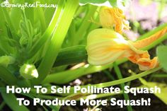How To Hand Pollinate Squash Flowers To Produce More Squash - Growing Real Food Growing Squash, Growing Zucchini, Zucchini Plants, Zucchini Squash, Butternut Squash, Pumpkin Growing, Squash Food, Fruit Garden, Edible Garden