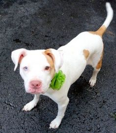 SAFE 7-31-2015 by  Second Chance Rescue --- Manhattan Center LADY MACBETH – A1044856 FEMALE, WHITE / BROWN, AM PIT BULL TER / AMER BULLDOG, 5 yrs OWNER SUR – EVALUATE, NO HOLD Reason NO TIME Intake condition EXAM REQ Intake Date 07/21/2015, http://nycdogs.urgentpodr.org/lady-macbeth-a1044856/