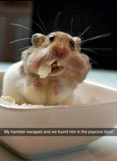 sneaky hamster got out and we found him in the popcorm bowl!
