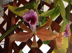 Laelia tenebrosa, orchid species from Brazil