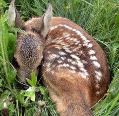 A baby roe deer! Deer Photos, My Favourite Subject, Roe Deer, Bambi, Goats, Wildlife, Artwork, Nature, Verona