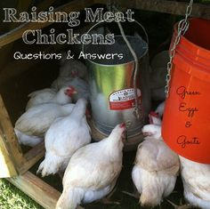 Raising Meat Chickens - your questions answered about how to raise broilers.