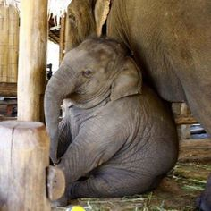 The fatness is just too CUTE! ❤️❤️ - Sarah Gierlowski - The fatness is just too CUTE! ❤️❤️ The fatness is just too CUTE! Cute Baby Animals, Animals And Pets, Funny Animals, Wild Animals, Elephas Maximus, Baby Elefant, Save The Elephants, Elephant Love, Indian Elephant