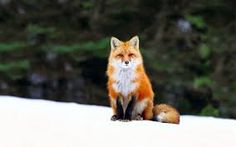 Image result for fox winter