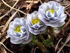 Trollius lilacinus Bunge.