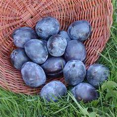 Blomme 'Italiensk Sveske'  Frugten: Middel, oval, blåsort m. meget fast frugtkød. God kraftig smag. Anvendelse: Sept.-okt. Til spisning og hushold. Vækst: Middel. Bred med hæng. grene. I øvrigt: Delvis selvbest. Den ægte sveske. Botanisk navn: Prunus domestica.