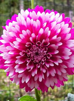 ~~Dinner Plate Dahlia | The French Tangerine~~