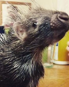 The little porcupine has stolen several keeper hearts! Who knew porcupines could be so sweet!
