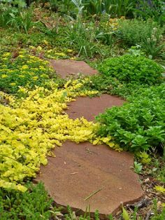 Of course, just like any plant in your garden, stepables require care. They are pretty low maintenance though. And most of them spread and multiply as well. We believe you are already intrigued and want to know which plants are most suitable for paths and walkways. - #Plants #Gardening