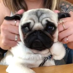 baby pugs dressed up Pugs Baby Pugs For Sale, Cute Baby Pugs, Baby Dogs, Cute Baby Animals, Doggies, Pugs Dressed Up, Pug Wallpaper, Pug Gifs, Pugs In Costume
