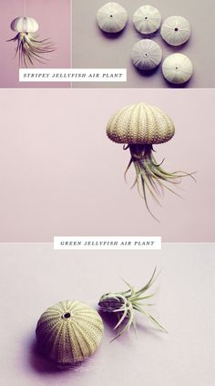 OMG I want to make adorable little sea urchin+air plant jellyfish like they do…