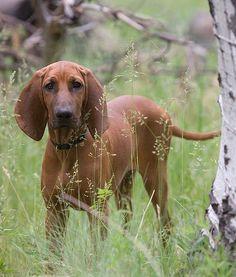 National Dog Show Redbone Coon Hound
