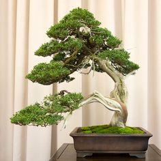Shimpaku - beautiful balance in form, greenery vs trunk, and sinuous aspect.