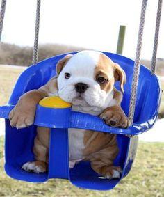 Cute Bulldog Puppy.