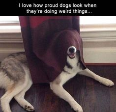"""Ha! Look at me! I'm under this thing and it's dark...."" What weird things does your dog seem to be strangely proud of doing? #dogs"