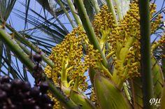Floración femenina C. humilis