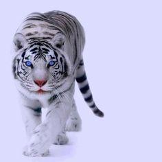 White Tiger, Black Stripes