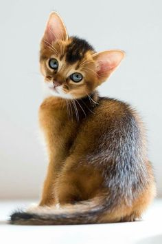 Abyssinian Kitten - Darcelle as a kitten. http://cailinbriste.com/2017/05/08/it-takes-a-cat-burglar-an-abyssinian-cat/