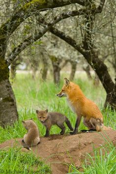 "(◔◡◔) ""Family Portrait - A mother Red Fox watches over her den in an old Plum orchard. Taken Apr 16, 2008""   (Location?)"