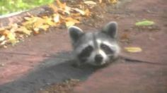 Weird Pets : Video Clips From The Coolest One - Judith Harris - Pet Fashion Weird Pets, Strange Pets, Funny Animal Videos, Funny Animals, Baby Racoon, Pet Fashion, Cute Gif, Mammals, Cute Babies