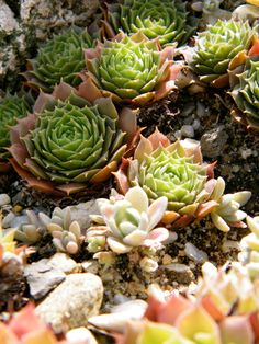 cover for fantastic garden design - decorate the terrarium and rock garden with house roots -Ground cover for fantastic garden design - decorate the terrarium and rock garden with house roots - Jade Plants, Garden Design, Ground Cover, Succulents, Veggie Garden, Garden Shed Diy, Garden Beds, Rock Garden, Types Of Succulents