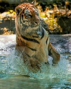 Bengal tiger fight with siberian tiger is must watch comparison to look for. read this article to know Bengal tiger vs siberian tiger fight comparison- who going to win. Beautiful Cats, Animals Beautiful, Hello Beautiful, Big Cats, Cats And Kittens, Animals And Pets, Cute Animals, Jungle Animals, Wild Animals