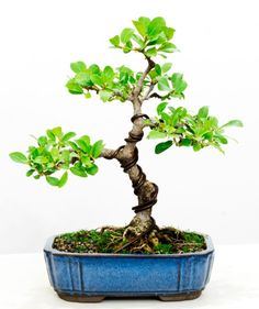 Ficus Natalensis bonsai, five years after I started styling it from a young cutting.