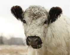 cow .....