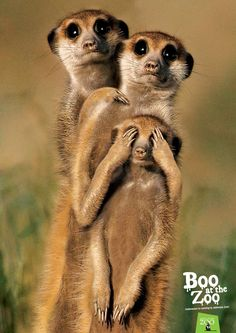 Zoos SA: Boo at the zoo - meerkats