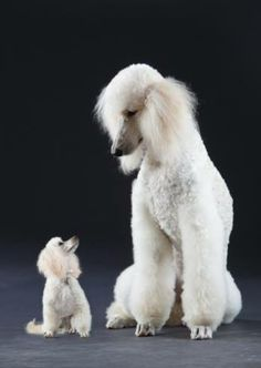 size comparison of adult Toy Poodle and Standard Poodle; Miniature Poodles are a size in between these two. Cute Puppies, Dogs And Puppies, Poodle Puppies, Pet Dogs, Dog Cat, Doggies, Dog Behavior, Training Your Dog, Dog Grooming
