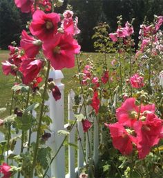 A garden with Hollyhocks to remind me of my mother and grandmothers.  My husband just said he's started some Black Hollyhock seeds!!!  #3